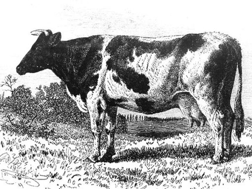 cow-illustration-lowres